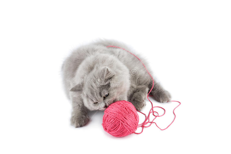 jeu rose de chaton d'isolement par boucle britannique photos stock
