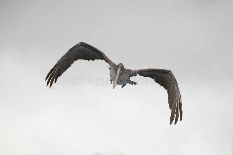 Jeugd Bruine Pelikaan tijdens de vlucht - de Eilanden van de Galapagos stock foto