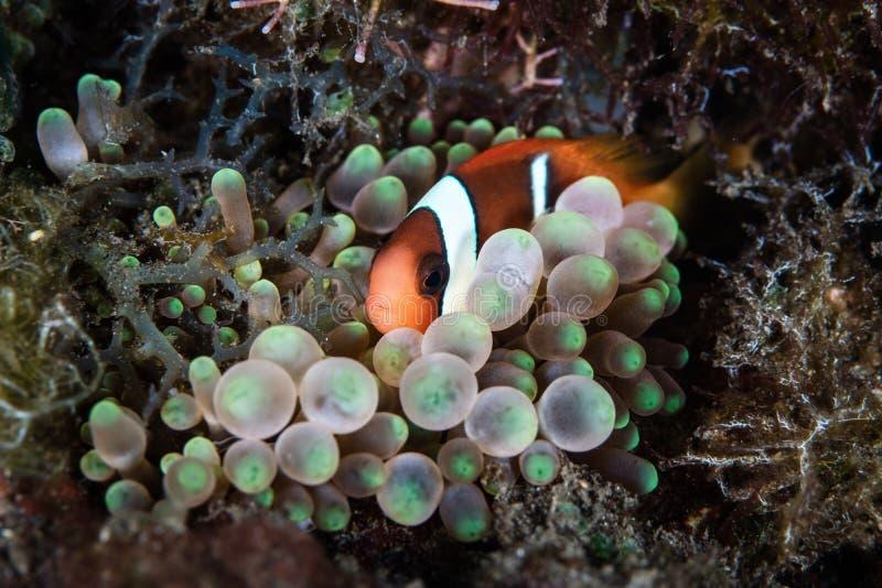 Jeugd Duistere Anemonefish en Anemoon royalty-vrije stock foto's