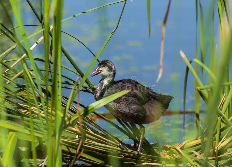 Jeugd Europees-Aziatische koet dichtbij het nest royalty-vrije stock fotografie