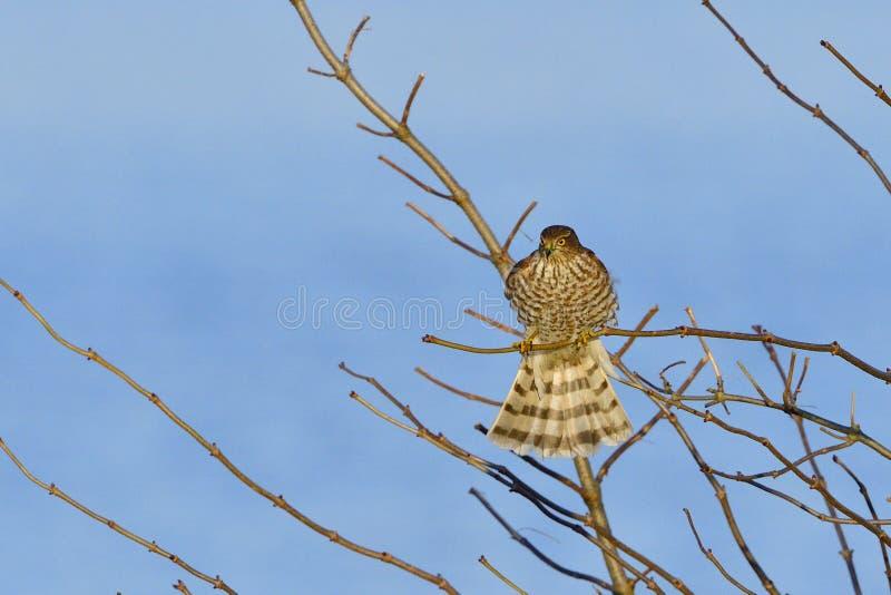 Jeugd Europees-Aziatische sparrowhawk stock afbeeldingen