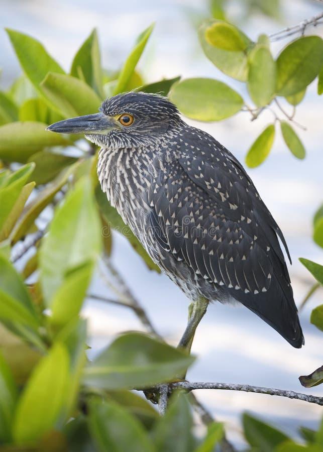 Jeugd geel-Bekroonde Nachtreiger die in een mangroveboom wordt neergestreken royalty-vrije stock afbeeldingen