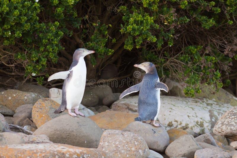 Jeugd geel-Eyed Pinguïnen NZ of Hoiho op kust stock foto's