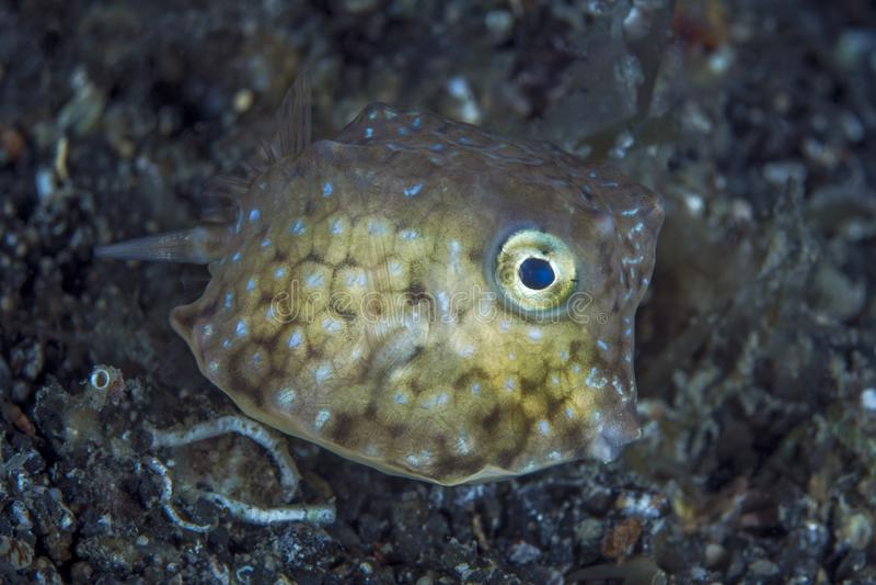 Jeugd gele boxfish royalty-vrije stock foto's