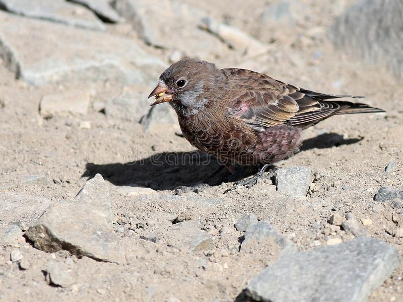 Jeugd grijs-Bekroonde Rosy Finch stock afbeelding