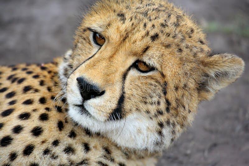 Jeugd jachtluipaard royalty-vrije stock foto's
