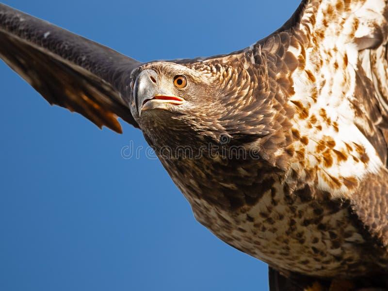Jeugd kale adelaar tijdens de vlucht stock foto