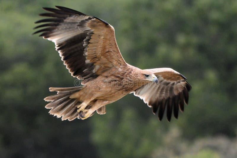 Jeugd Spaanse Keizereagle - Aquila-adalberti - het vliegen, Spanje stock fotografie