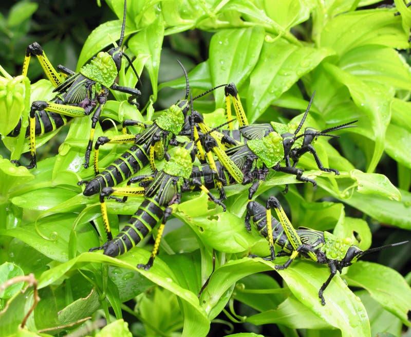 jeugd sprinkhanen die op leafes voeden stock foto