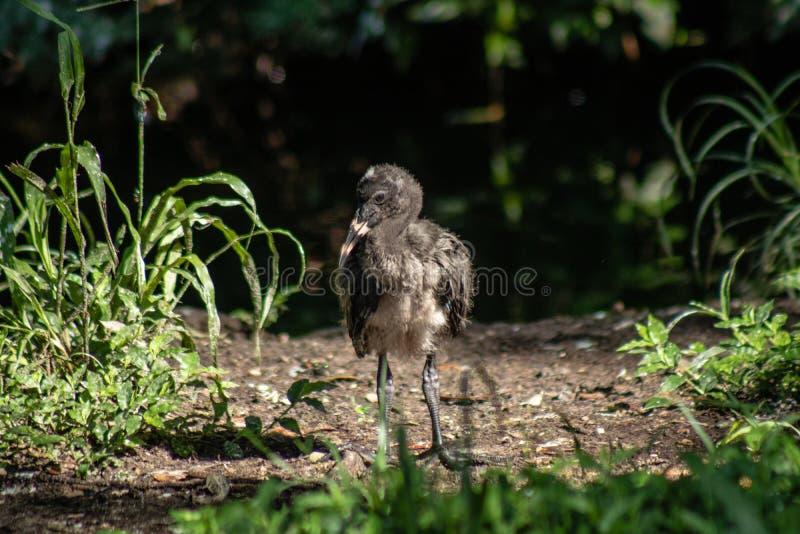 Jeugd Witte Ibis stock foto's