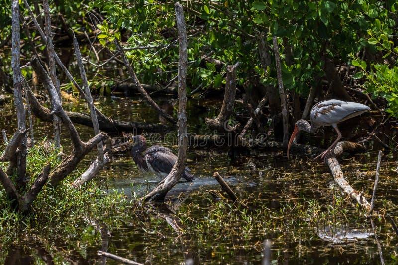 Jeugd Witte Ibis, Tricolored-Reiger, Gevlekte Eend, J N ding royalty-vrije stock foto