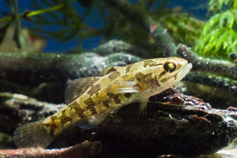Jeugd zoetwatervissen Chinese dwarsbalk, Perccottus-glenii, die op drijfhout in biotoopaquarium rusten, close-up stock fotografie