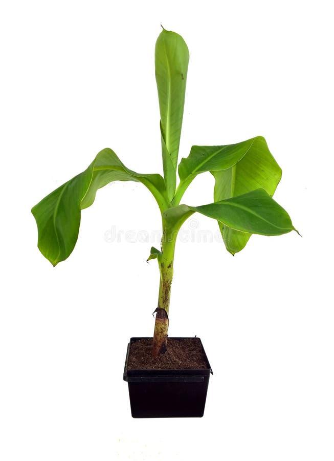 Jeugdbanaanboom over wit stock foto
