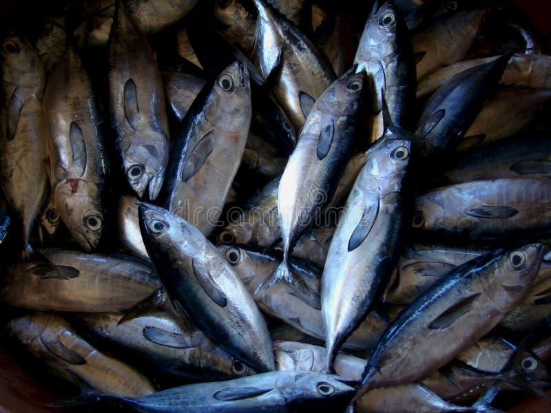 Jeugddietonijn vers door artisanale Filipijnse vissers wordt gevangen stock fotografie