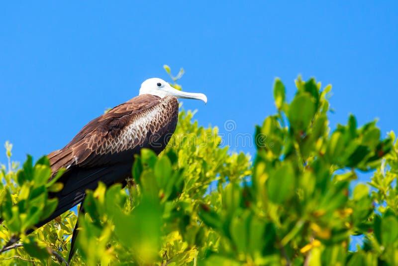 Jeugdfregatvogel royalty-vrije stock afbeelding