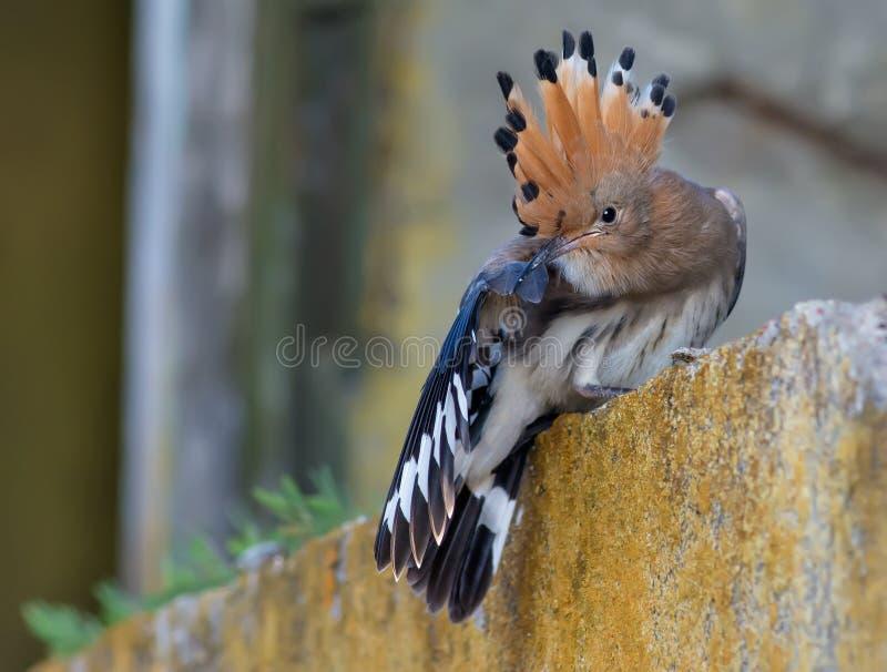 Jeugdhoopoe die verzorgen plotseling na het verlaten van het nest stock foto