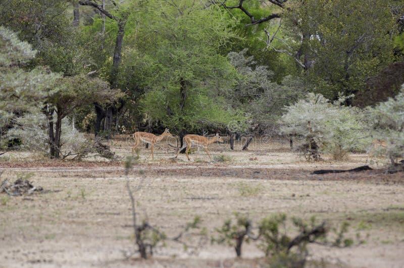Jeugdimpala, Selous-Spelreserve, Tanzania stock fotografie