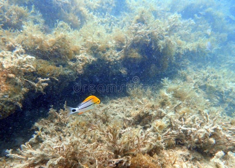 Jeugdporkfish die in de oceaan zwemmen stock foto's