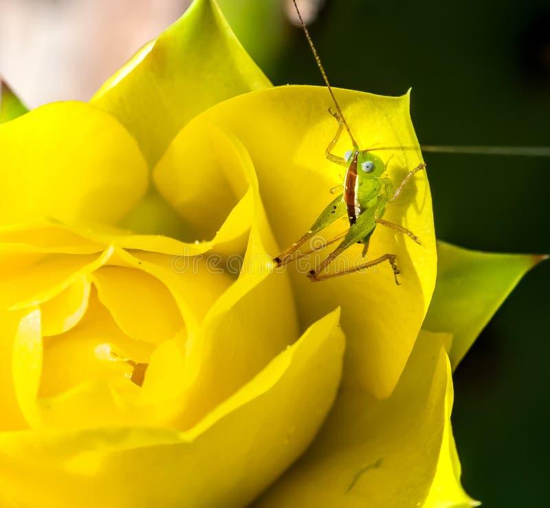 Jeugdsprinkhaan op de gele bloem van de Vijgcactus stock foto