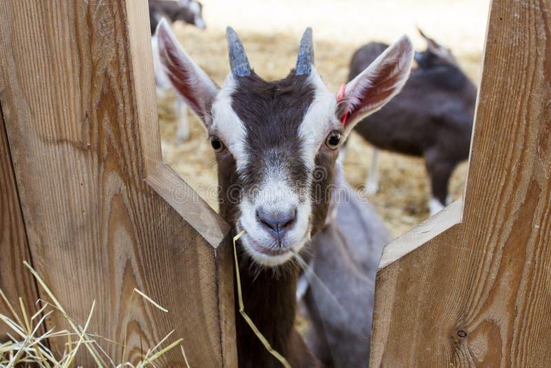 Jeugdthyringen-geit in goatfarm royalty-vrije stock afbeelding
