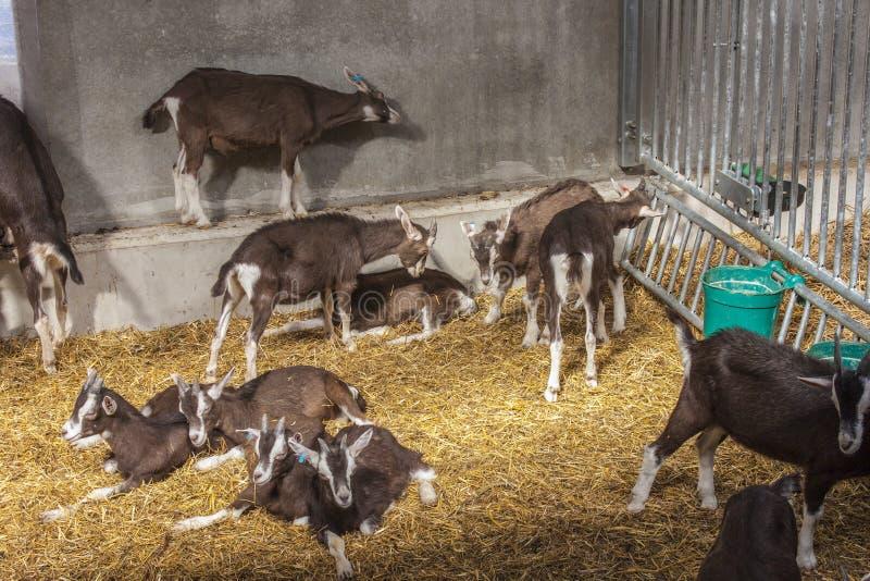Jeugdthyringen-geiten stock fotografie