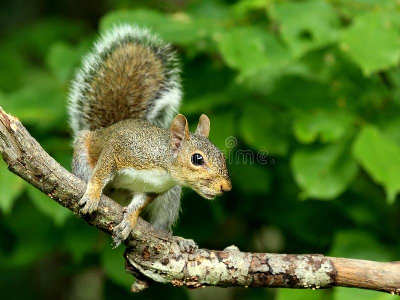 Jeune écureuil de gris oriental photos stock