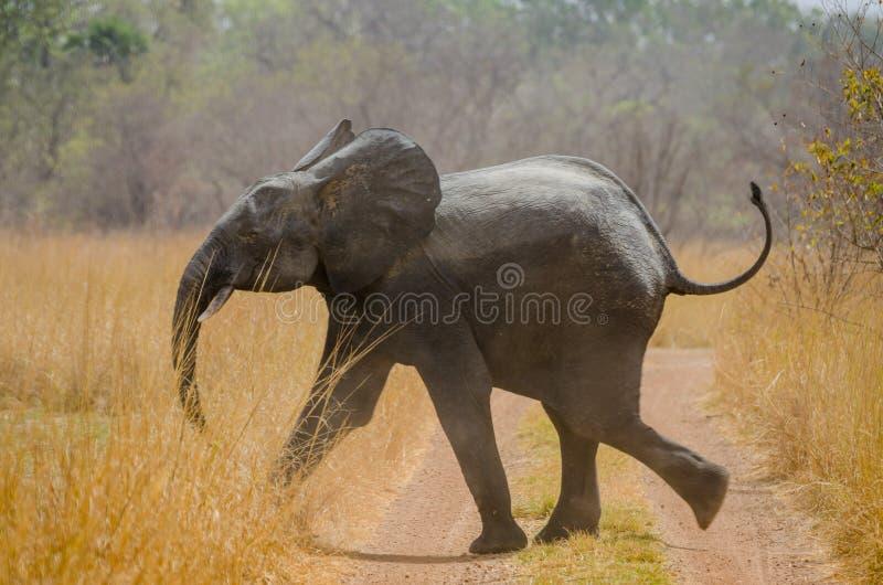 Jeune éléphant africain fonctionnant à travers la voie en parc national de Pendjari, Bénin, Afrique photos stock
