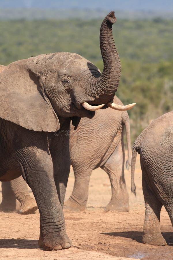 Jeune éléphant Bull photos libres de droits