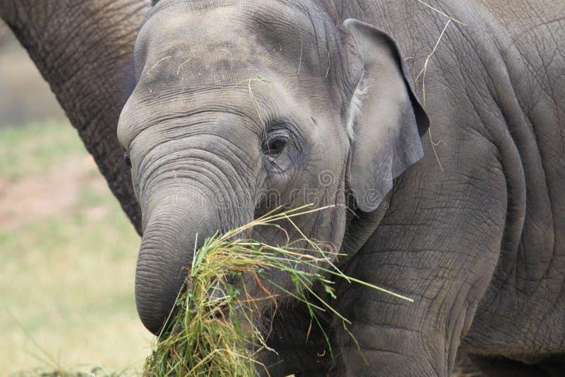 Jeune éléphant d'Asie image libre de droits