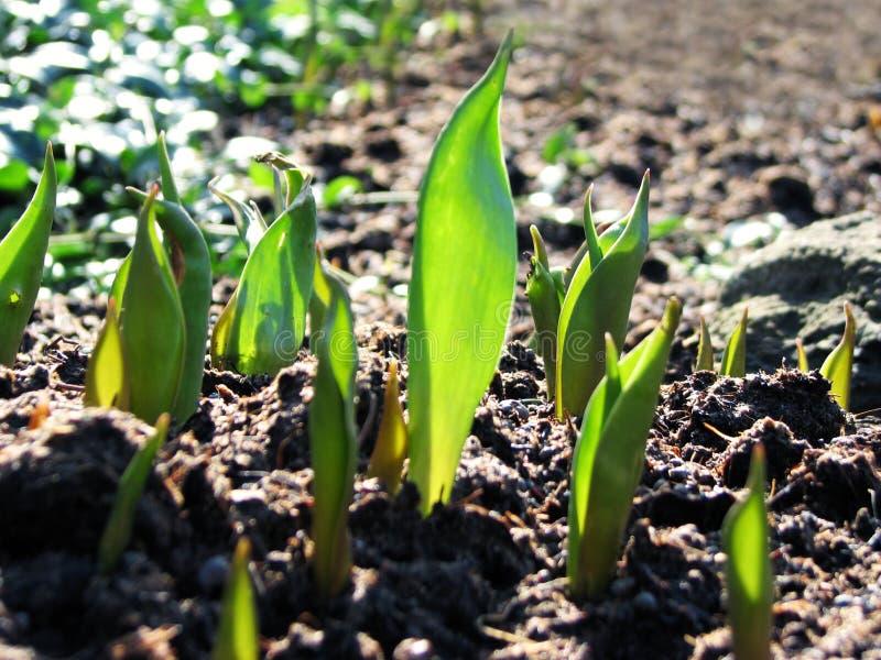 Jeune élevage de centrales de tulipe photos stock