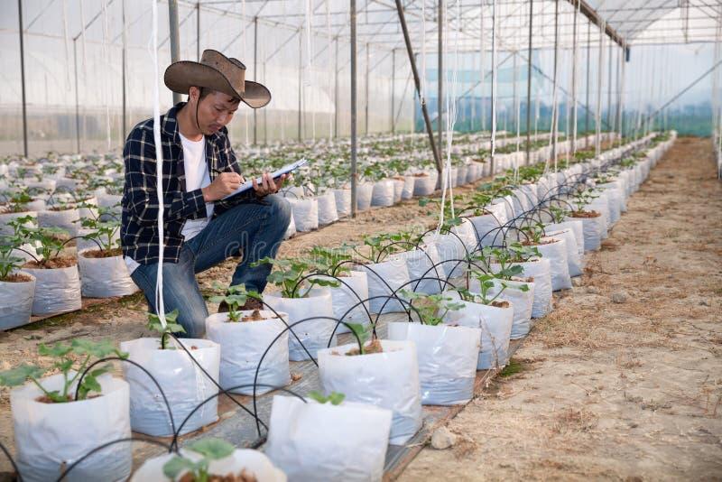 Jeune élevage vert de melon ou de cantaloup photographie stock