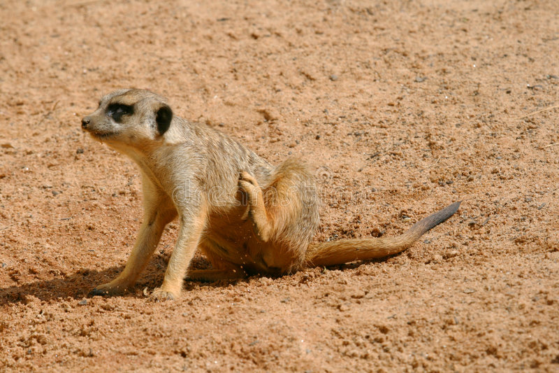 Jeune éraflure de meerkat image libre de droits