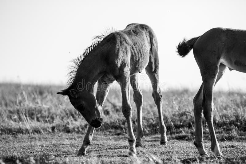 Jeune étalon espiègle en noir et blanc photographie stock