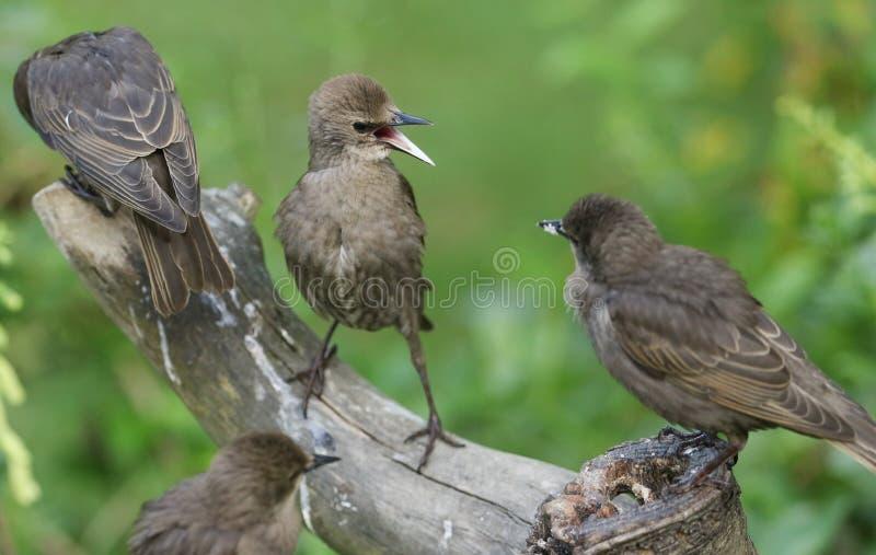 Jeune être perché vulgaris de Starling Sturnus sur un tronçon d'arbre avec ses becs s'ouvrent Les jeunes oiseaux avaient combattu photographie stock