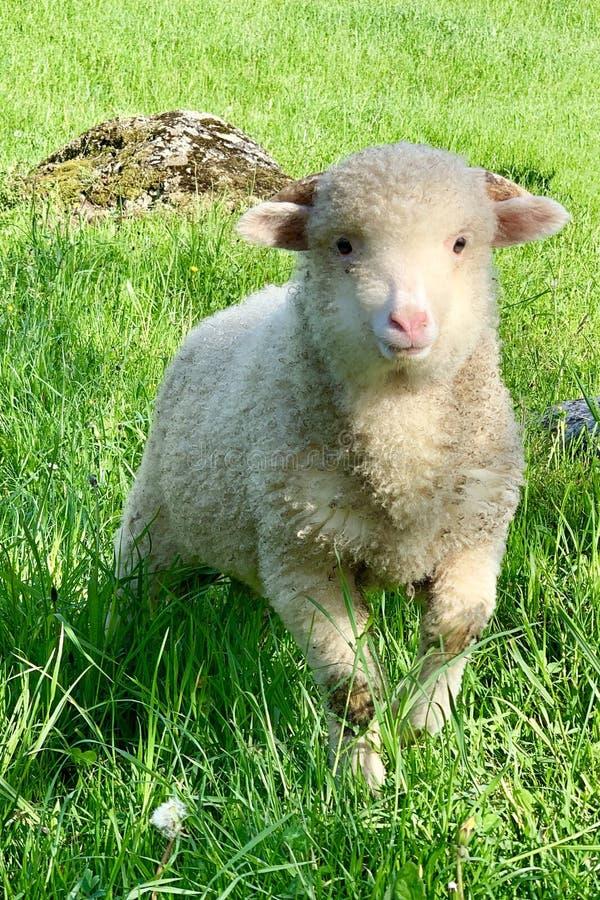 Jeune agneau, sur un pâturage vert à la ferme en montagnes photographie stock libre de droits