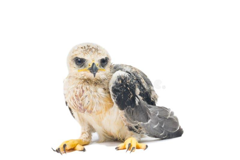 Jeune aigle photo libre de droits