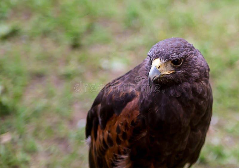 Jeune aigle d'or brun avec le crochet pointu de bec photographie stock