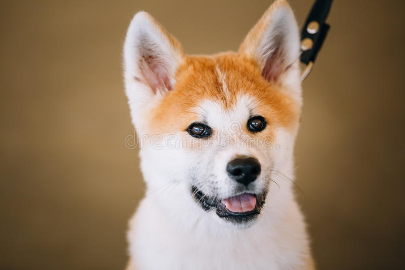 Jeune Akita Inu Dog blanche et rouge, chiot images stock