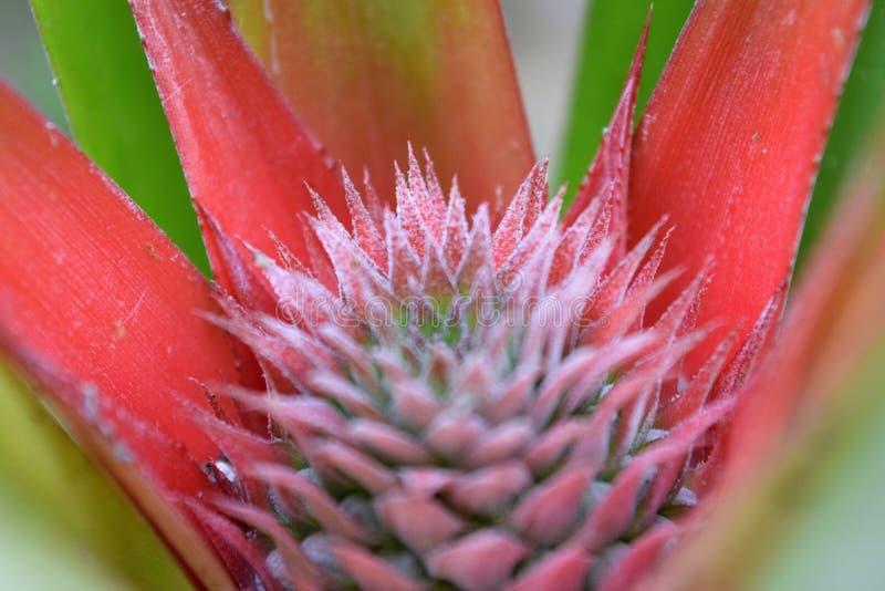 Jeune ananas photos libres de droits