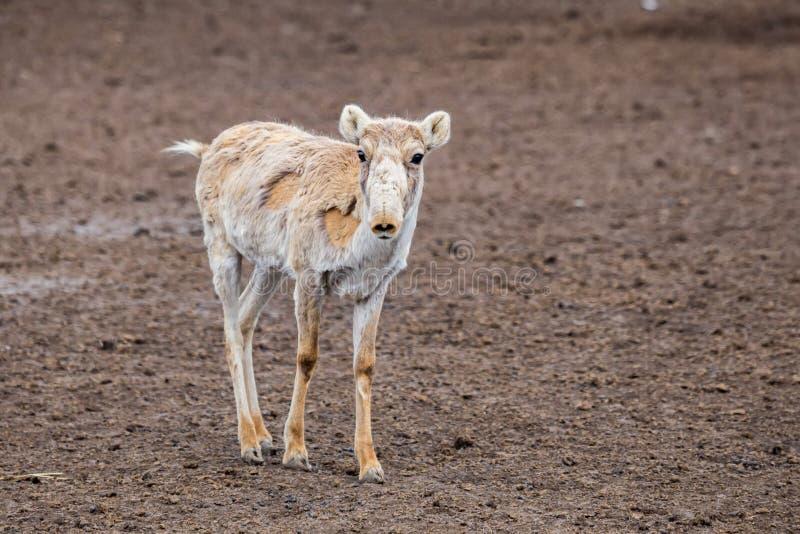 Jeune antilope de Saiga ou tatarica mignonne de Saiga pendant muer photographie stock libre de droits