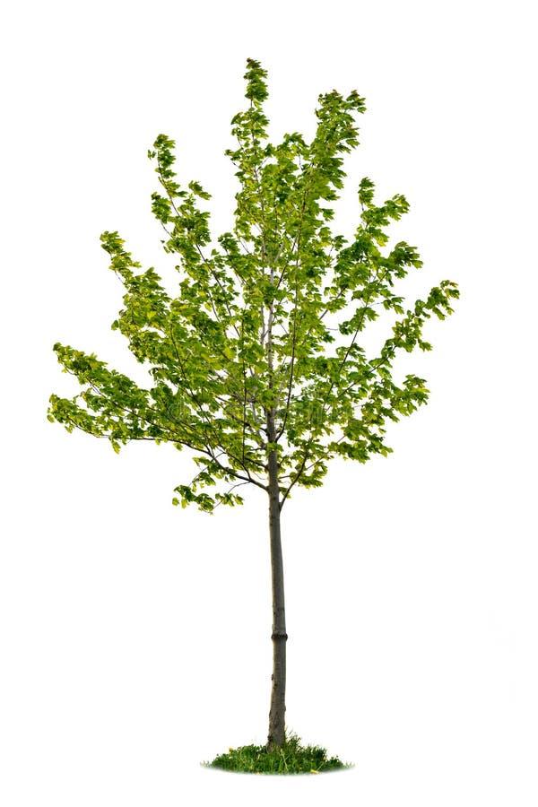Jeune arbre d'érable d'isolement photos libres de droits