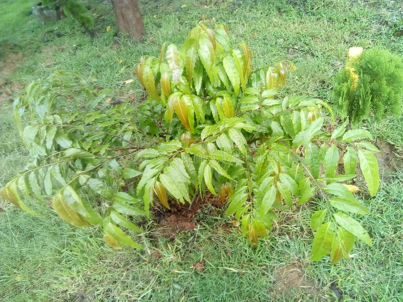 Jeune arbre d'ashoka photos libres de droits