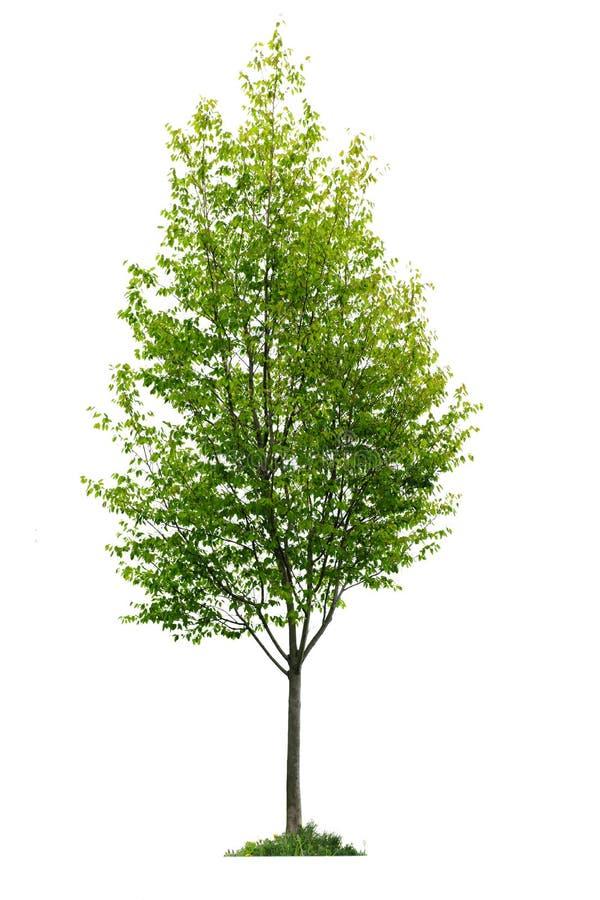 Jeune arbre d'isolement photographie stock libre de droits
