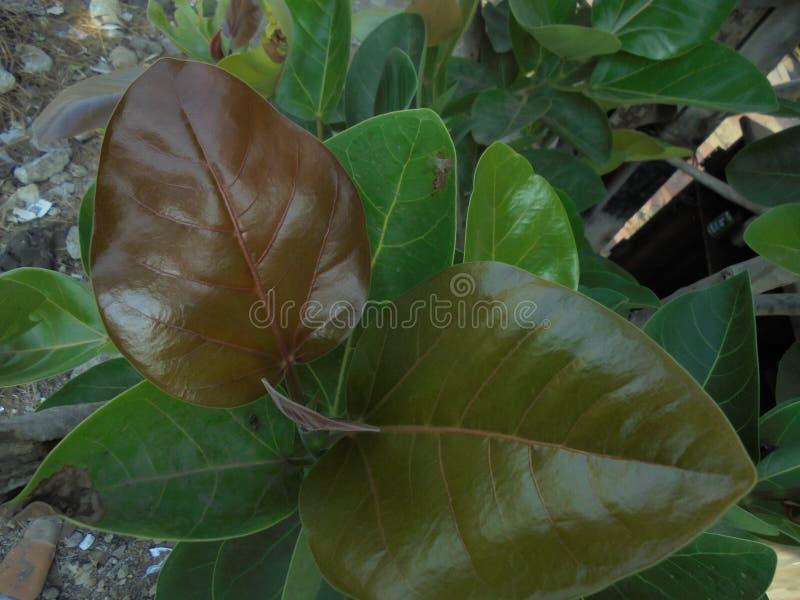Jeune arbre d'usine de banian de bébé photographie stock libre de droits