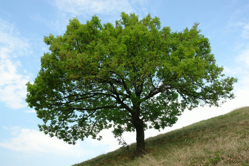Jeune arbre de chêne simple images stock