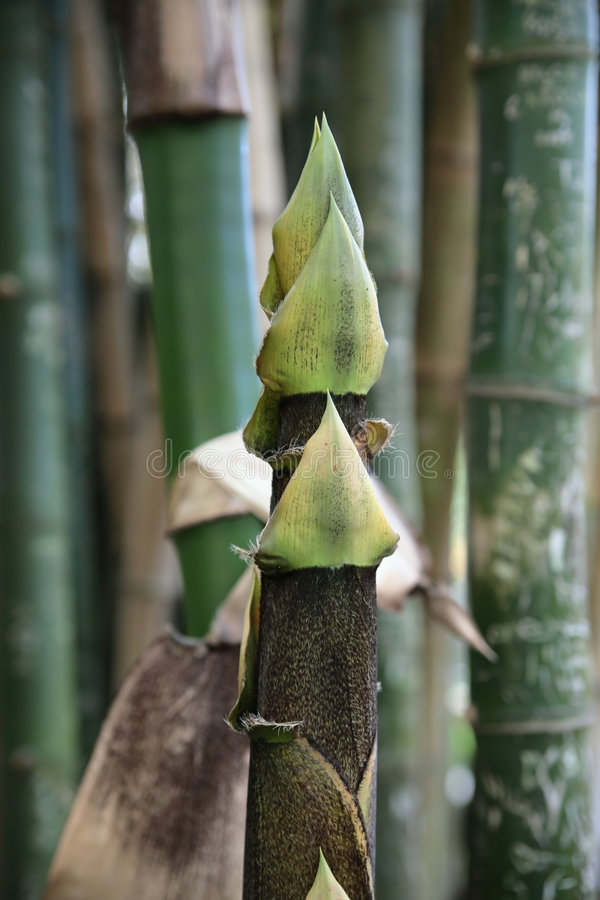 Jeune Arbre En Bambou Images stock