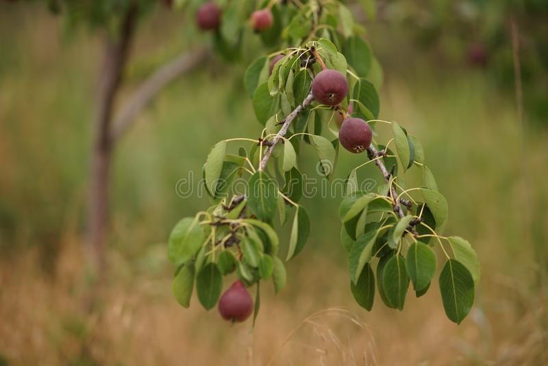 Jeune arbre fruitier avec les poires foncées mûres de Bourgogne s'élevant dans le jardin d'été image libre de droits
