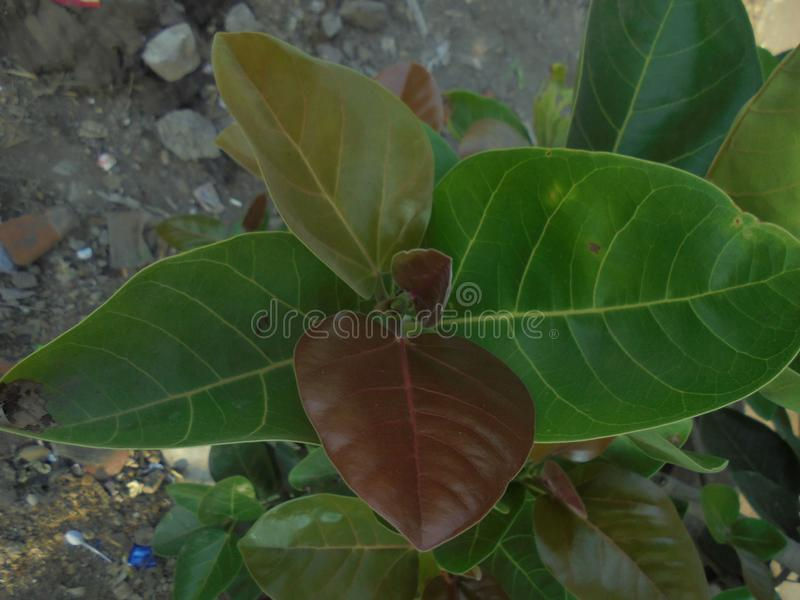 Jeune arbre Inde de Banan photographie stock libre de droits
