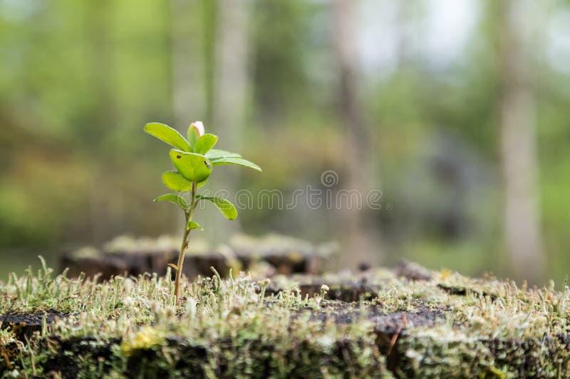 Jeune arbre, mousse et lichen d'airelle sur un tronçon images libres de droits
