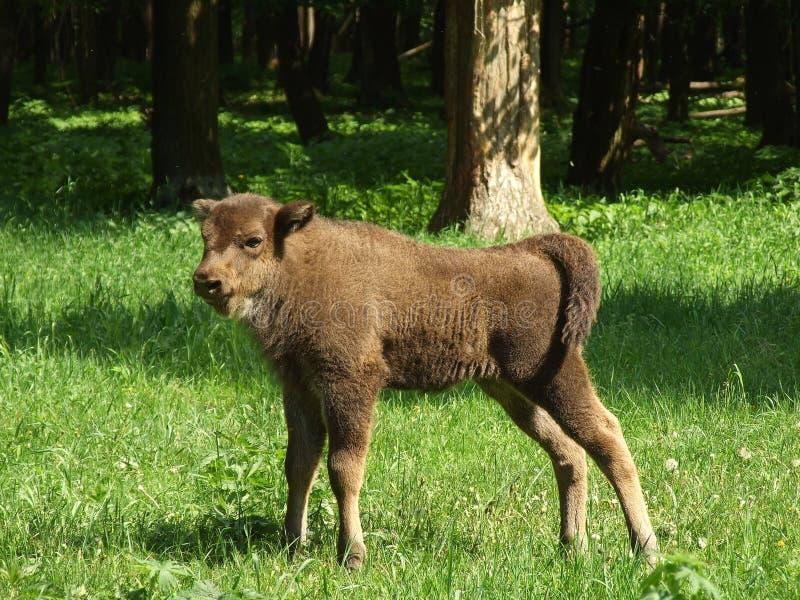 Jeune aurochs photos libres de droits